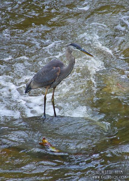 Great Blue Heron     Photography by Wayne Heim