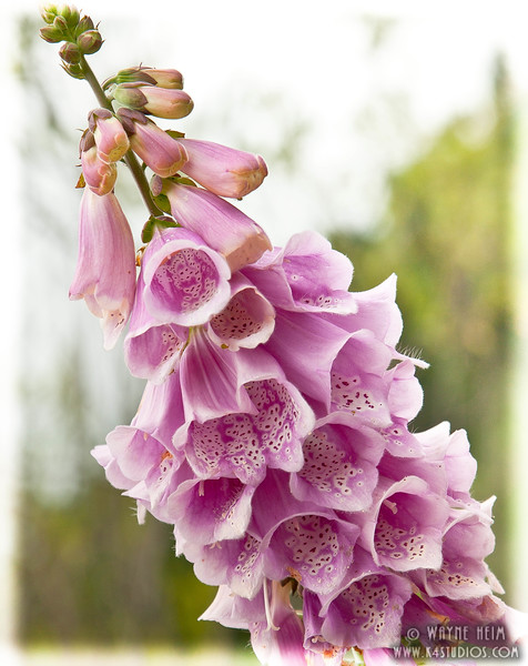 Pink Bells      Photography by Wayne Heim