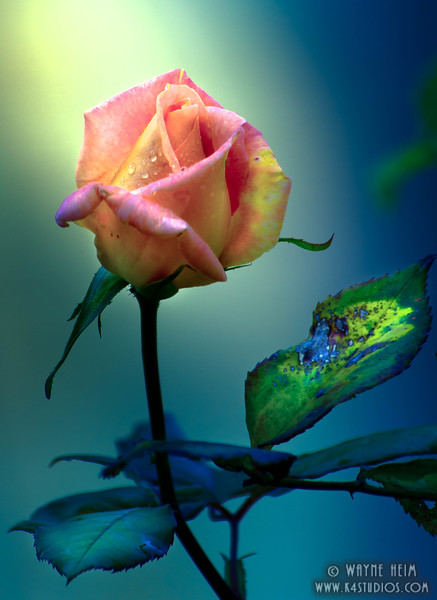 The Rose - Photography by Wayne Heim