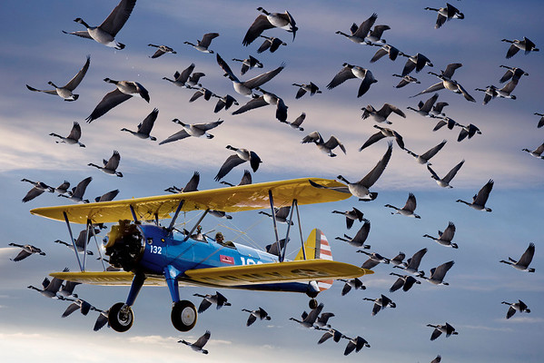 Stearman Photo: Paul Bowen Geese Photos: Tom Jenkins Photoshop: Tom Jenkins Pilot hates geese.