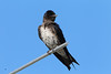 A purple martin perched atop the new nest near Meyer Distributing in Jasper, IN.