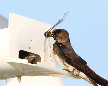 Purple Martins Feeding