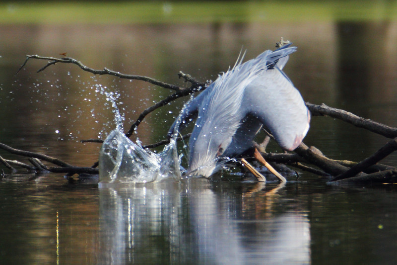The blue heron makes a stab for a fish,but misses.