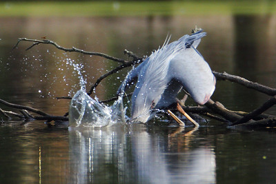 Blue Heron of Huntingburg Lake