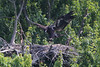 Eaglet is practicing flying out to the perch at the front of the nest on June 24.  Flight gets closer every day.
