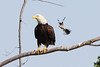 Adult eagle is mobbed by a pair of mockingbirds and a red-winged blackbird.  Photo from Mobbed gallery.