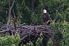 Eaglet has added more black feathers to his head in the photo taken May 12.  It was heavily overcast this day, so the colors are very muted.