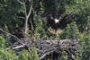 I kept a single photo from my June 3 visit.  Here we see the adult eagle deliver a fish, a carp, I think, to the eaglet.