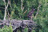 The eaglet has graduated to hopping up to this nearby perch as of June 17.  The adults now only visit the nest when they are delivering food to the eaglet, but they remain within a few hundred feet of the nest, in case they are needed.