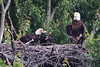Adult eagle has grabbed a morsel of food from the nest and is preparing to leave for a private perch, while being intensely watched by his family.  The eaglet now has most of his black feathers.  Photo from gallery of May 19.
