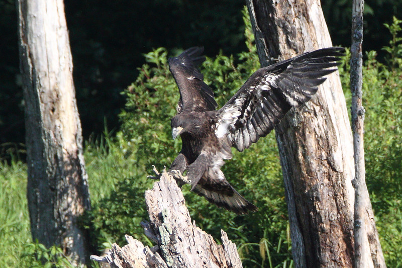The freshly-fledged eaglet is exploring his new enviornment at Huntingburg Lake.  Here, he makes a perfect 2-point landing on a tree stump.  More photos are in the June 26 gallery inside the 2012 gallery.