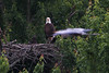 A great blue heron flies past the eagle nest, much to the amazement of the eaglet.  The heron is about 50 feet in front of the nest, so I am not able to get both the eagles and the heron in focus at the same time.  Photo taken May 12.