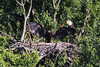 Eaglet and one parent are seen in this June 23 photo.  Eaglet's wingspan is now probably about 6 feet.