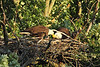 The adults take turns tearing the fish apart and offering it to the eaglet.  Photo from April 22 gallery.