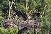 Eaglet shows us his great wing-span.  He has begun exercising his wings in preparation of his first flight.  I would estimate his wingspan at about 5 feet now.  Photo from gallery of June 6.