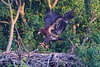 The eaglet practices jumping across the nest in this photo taken June 20.