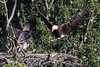 The adult eagle delivers a partially eaten fish to the eaglet.  See the complete 14 image sequence in the June 22 gallery.