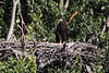 Eaglet portrait for June 22.