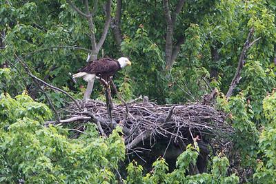 Huntingburg Eagle Nest - April 27