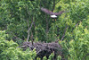 Eaglet looks upward in awe as adult eagle comes in for a landing.
