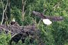 Start of sequence where adult is landing in nest with a small fish in his talons while his mate and the eaglet watch in anticipation.
