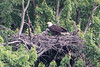 This shot gives a good idea of how much eaglet has grown.