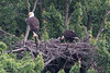 Eaglet is getting fed.