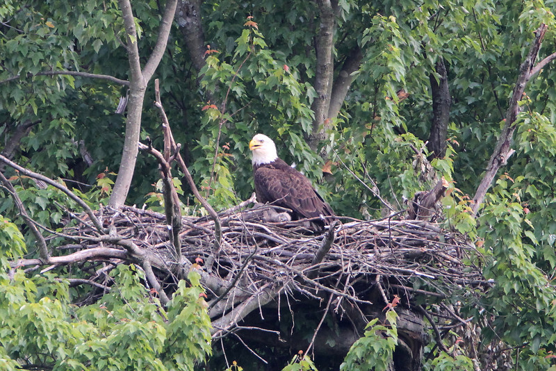 Eaglet is sleeping in this shot.  He is totally conked out.