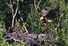 The eaglet will get rabbit for supper tonight!