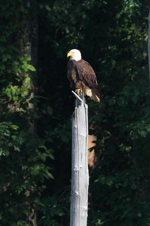 Huntingburg Eagle Nest - June 5