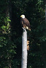 Eagle perching on a dead tree stump.