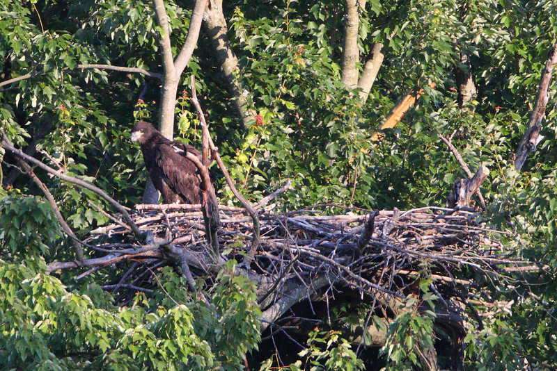Eaglet in his nest.