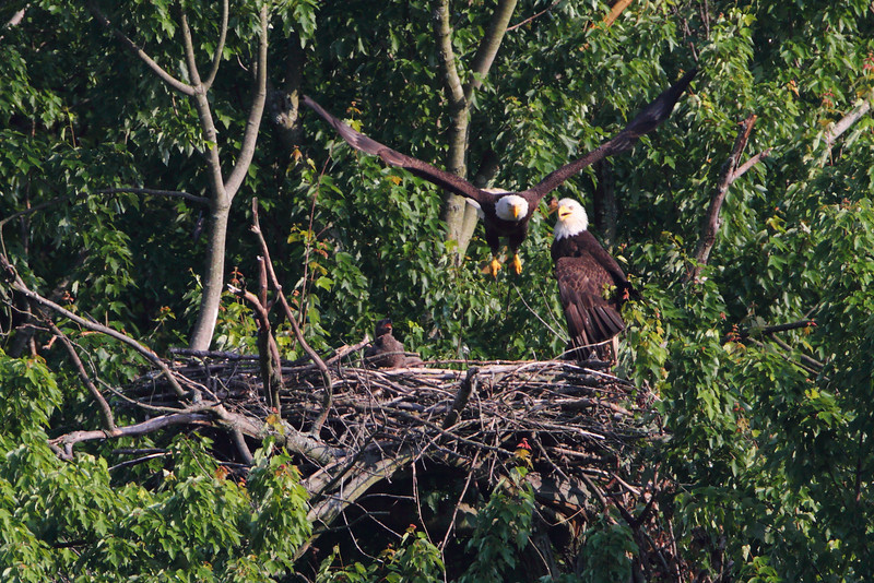 The eaglet watches one of his parents take off  from the nest.  What a role model!!!