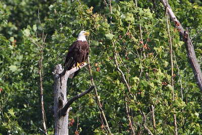 Huntingburg Eagle Nest - May 17