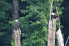 The adult eagles enjoy a little R & R among the dead trees at the edge of the lake.