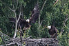 Adult eagle arrives with a small critter for supper.  I can see that the critter has feet, but I cannot tell what it is, other than is not their usual fish.  His mate and the eaglet observer intently.
