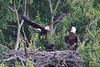 Adult eagle grabs a morsel of food and heads for his private perch.  The eaglet now has most of his black feathers.