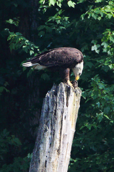 Adult eagle indulges himself with a small turtle for a midafternoon snack.  Yum!!!