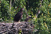 The eaglet now has all black feathers and gets noticably larger with every visit.