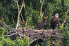 Eaglet and mama eagle in the nest.