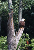 A great eagle pose on a dead tree.  Notice the red-winged blackbird that is ready to harass the eagle.