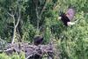No food on this trip.  Eaglet continues to grow.