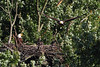 No fish in this scene, but it shows how the eaglet has grown and is starting to get some black feathers on his head.