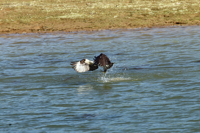 Patoka Osprey