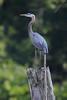 Blue Heron at Huntingburg Lake strikes a pose atop this tree stump.