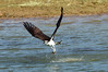 Osprey takes a fish from Patoka lake on Easter Sunday 2012.