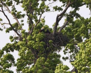 Wabash Eagle Nest
