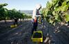Grape Harvest in Carmel Valley