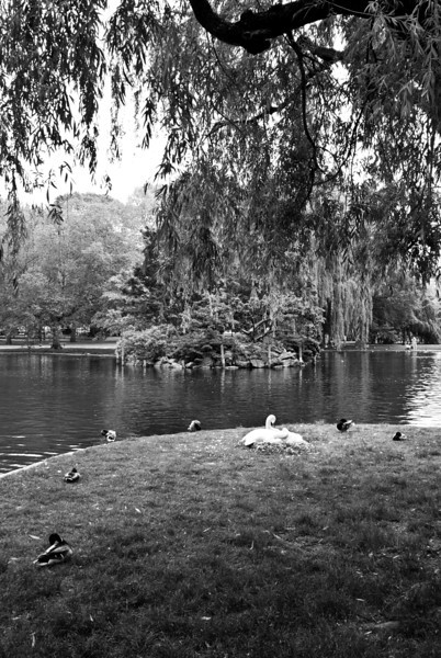 Swans Nesting in the Public Garden