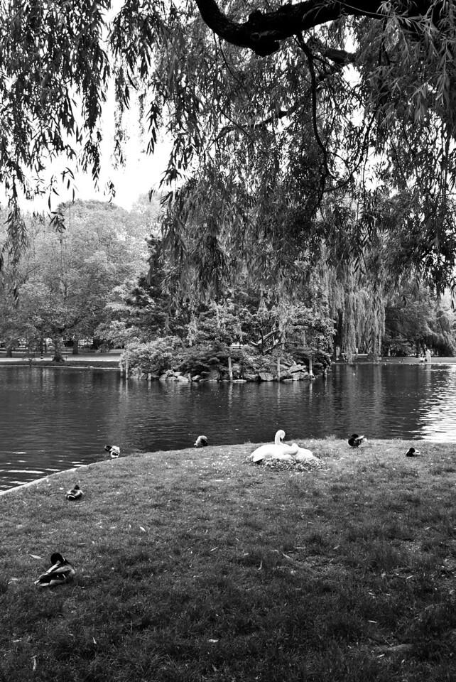 Swans Nesting in the Public Garden